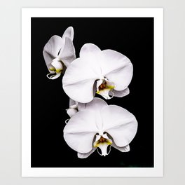White Orchid Flowers Art Print