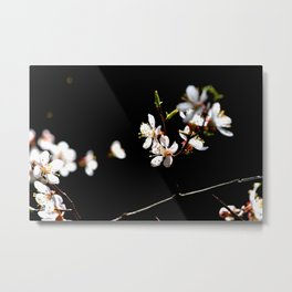 Small Twig Of A Japanese Apricot Tree. White Sunlit Flowers. Black Background Metal Print