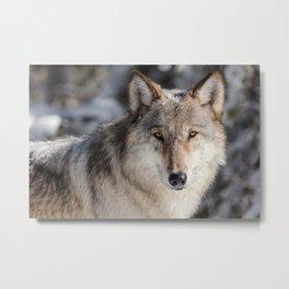 Yellowstone Wolf Portrait Metal Print