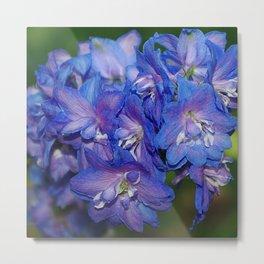 Sky blue Delphinium Flowers Metal Print