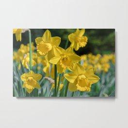 Daffodils in a field Metal Print