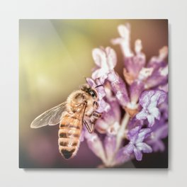 Bee insect foraging pollination process on lavender flower Metal Print