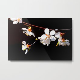 Beautiful, Delicate Japanese Apricot Flowers Against The Black Background Metal Print