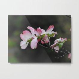 Dogwood in Bloom Metal Print