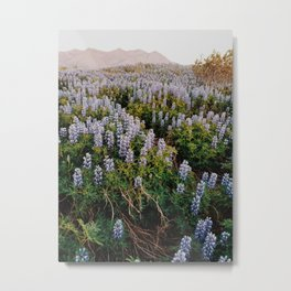 Wild Lupines in the Midnight Sun Metal Print