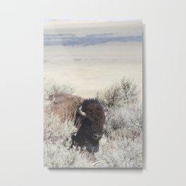 Bison in Antelope Island State Park, Utah Metal Print