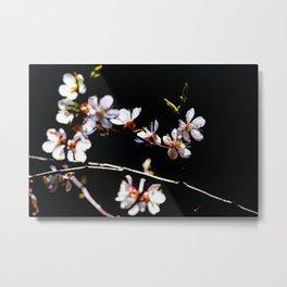 Impressive, Elegant Japanese Apricot Flowers Against The Black Background Metal Print