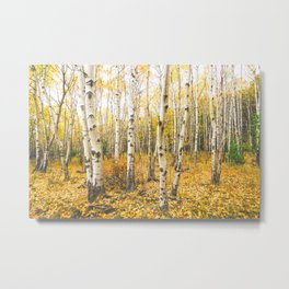 Autumn Birch Forest Metal Print