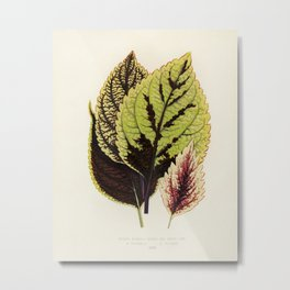 Coleus Murrayi engraved by Benjamin Fawcett (1808-1893) for Shirley Hibberd's (1825-1890) New and Ra Metal Print