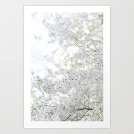 White Cherry Blossoms Art Print