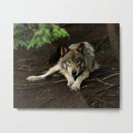 Intense Timber Wolf Metal Print