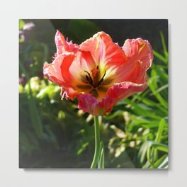 Almost faded red tulip ... Metal Print