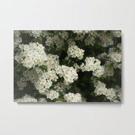Hawthorn Flowers Metal Print