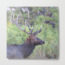 Watercolor Elk Bull 44, Estes Park, Colorado, Swamp Thing Metal Print