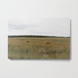 Highland Cows eating grass   Scottish Highlanders, cattle, cows in the Netherlands   Wild animals   Fine art travel and nature photography Metal Print