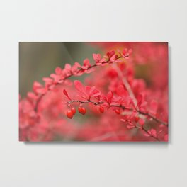 Close-up of red barberry in autumn Metal Print