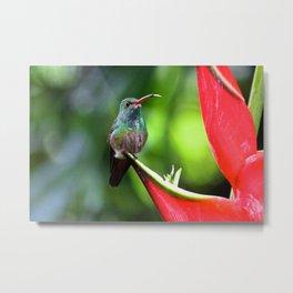 The Thirsty Hummingbird Metal Print