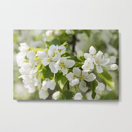 Crabapple Blossoms 13 Metal Print