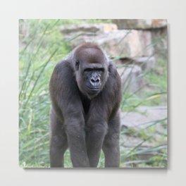 Gorilla 519-1 Metal Print