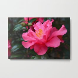 Full bloom pink camellia flower. Floral garden photography. Metal Print
