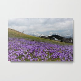Crocus flowers at Velika Planina, Slovenia Metal Print