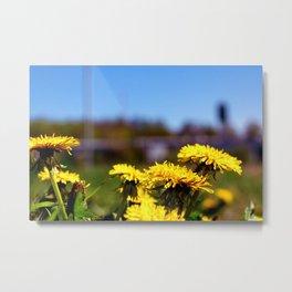 Concept flora . Dandelions in a field Metal Print