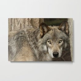 The intensity of the timber wolf Metal Print