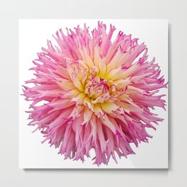 Pink Dahlia on a transparent background Metal Print