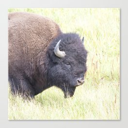 Watercolor Bison Bull 30, Yellowstone, WY Canvas Print