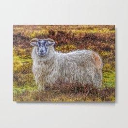 Exmoor Sheep Metal Print