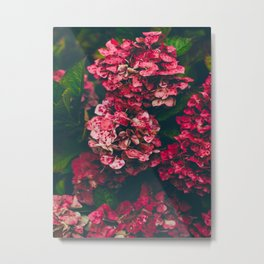 Christmas Hydrangea Red Floral Green Leaves Supple Flowers In The Garden Metal Print