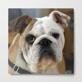American Bulldog Metal Print