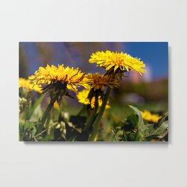 Concept flora : Dandelions in a field Metal Print