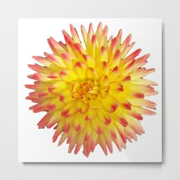 A Yellow Dahlia with Pink tips on a transparent background Metal Print