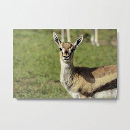 Young Oribi Antelope Looking Directly at the Camera in the Masai Mara National Reserve in Kenya Metal Print