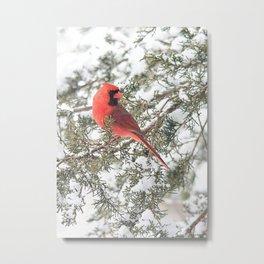 Cardinal on a Snowy Cedar Branch (v) Metal Print