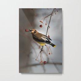 Cedar Waxwing on Branch Metal Print