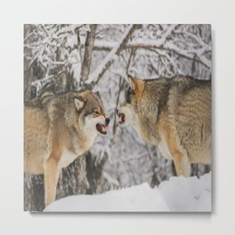 Wolves snarling snow winter forest wildlife Metal Print