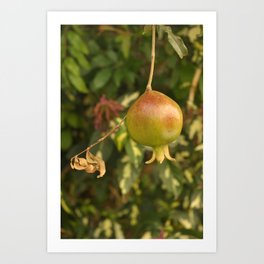 Growing Pomegranate on the tree Art Print