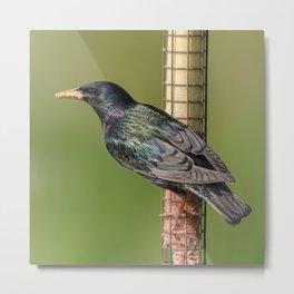 Starling on feeder Metal Print