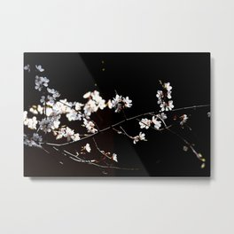 Breathtaking Branch Of Japanese Apricot. White Flowers, Black Background Metal Print