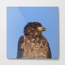 Golden Eagle on the Kenai Metal Print