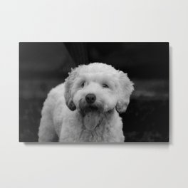 White fluffy labradoodle puppy dog with tongue hanging out Metal Print