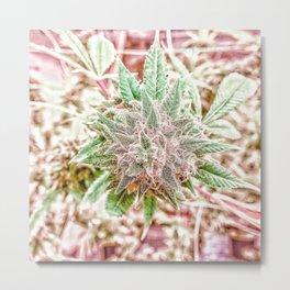 Flower Star Blooming Bud Indoor Hydro Grow Room Top Shelf Metal Print