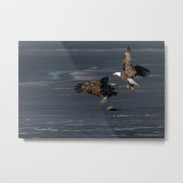 Eagles Fight Over Fish Metal Print