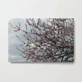 Almond tree blossom Metal Print