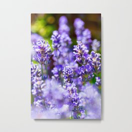 Bunch of beautiful lavender flowers in close-up from France Metal Print