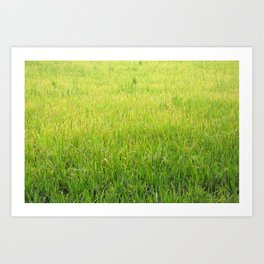 Lush Green Rice field, meadow, rice paddy, rice field, green grass Art Print