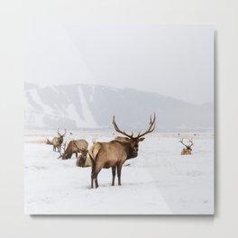 Elk Wintering in Jackson Hole Wyoming Metal Print