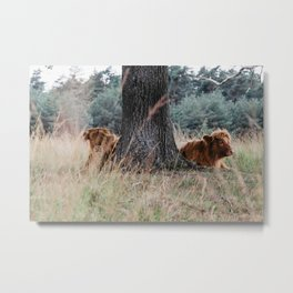 Highland Cows baby calfs   Scottish Highlanders, cattle, cows in the Netherlands   Wild animals   Fine art travel and nature photography art print Metal Print